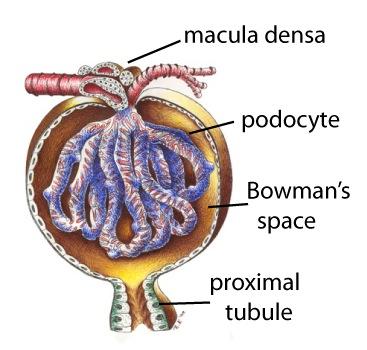 Kidney 10