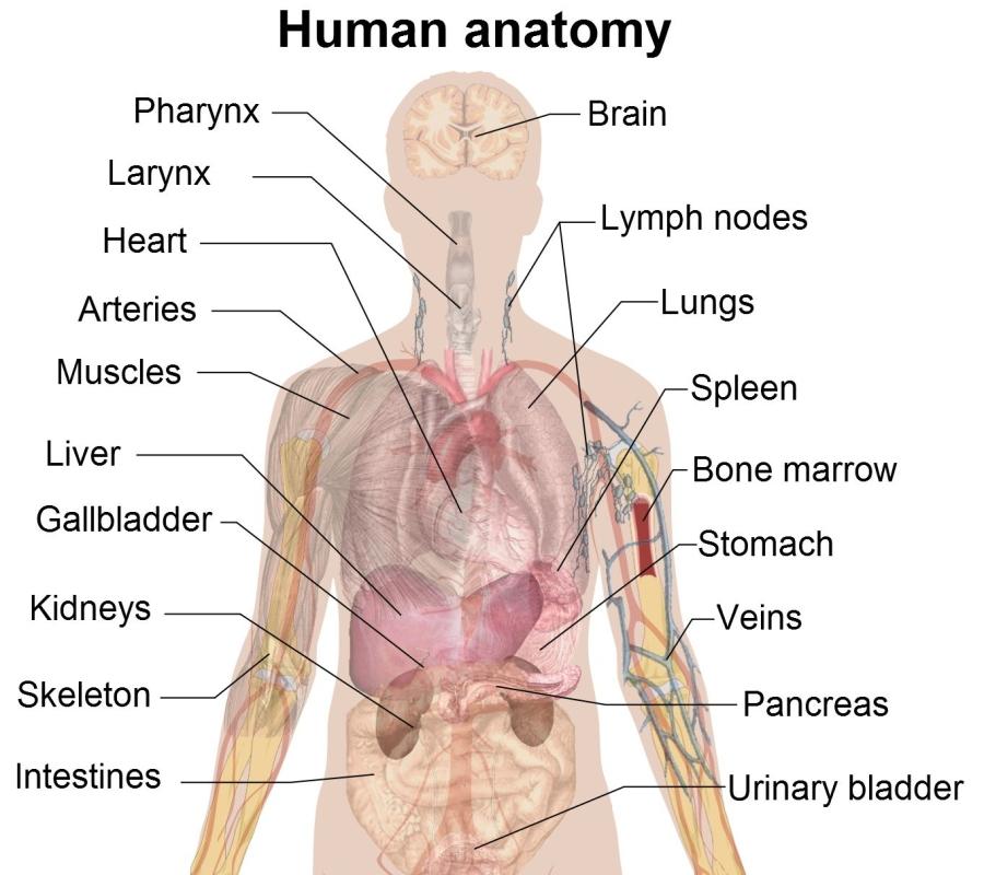 Kidney In Body Diagram Kidney Location Human Body Diagram Anatomy