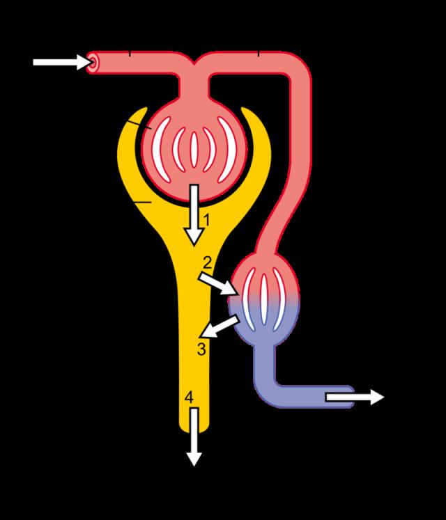 Kidney 6