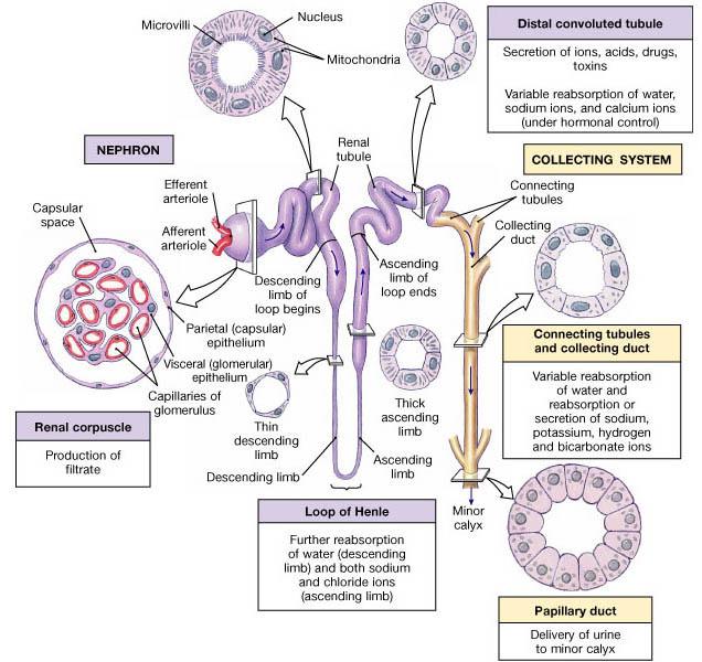 Kidney tubule 1