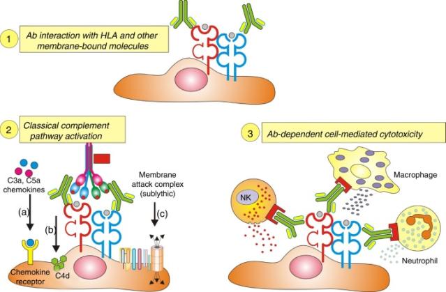 HLA antibodies